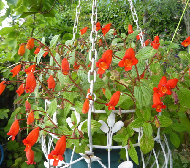 Seemannia nematanthodes 'Evita' 10-10-12