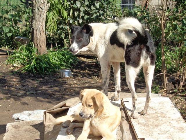 GAYA- femelle noire et blanche née en 2013- parrainée par Skara - SC-SOS-R- - Page 3 Gaya310
