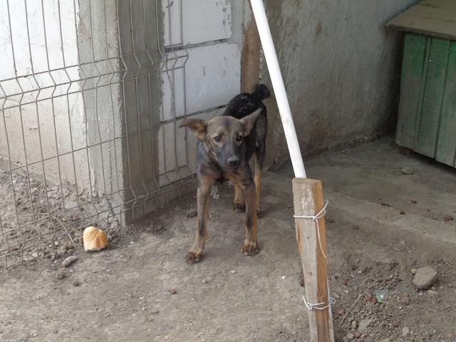 MALO - croisé berger, pelage charbonné foncé, né en mars 2016 - bébé de Indie (en FA dans le 13)- SOS-R-SC-30MA- Ro_mal11