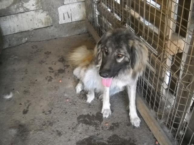 SARRA, croisée berger des Carpates née en 2014 - Parrainée par Dankesori -SC-R-SOS- Sara1510