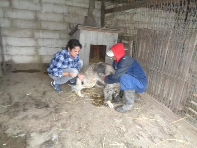 SARRA, croisée berger des Carpates née en 2014 - Parrainée par Dankesori -SC-R-SOS- Sarra_10