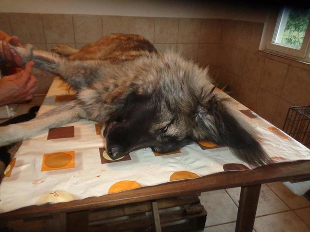 SARRA, croisée berger des Carpates née en 2014 - Parrainée par Dankesori -SC-R-SOS- Sarra_12