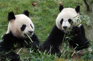 bonzour bonne zournée et bonne nuit notre ti nid za nous - Page 5 Pandas10
