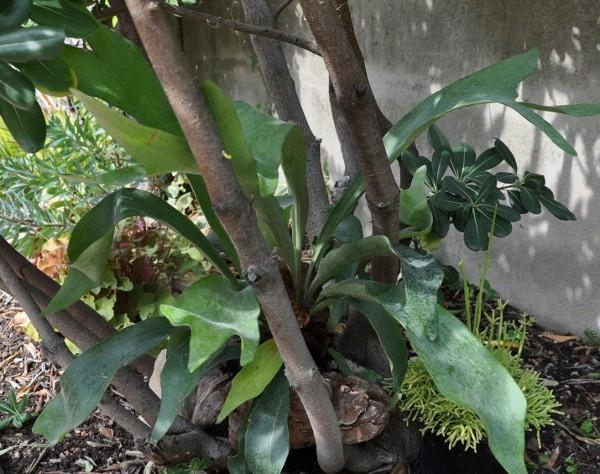 Platycerium - le genre - fougère épiphyte  001_6011