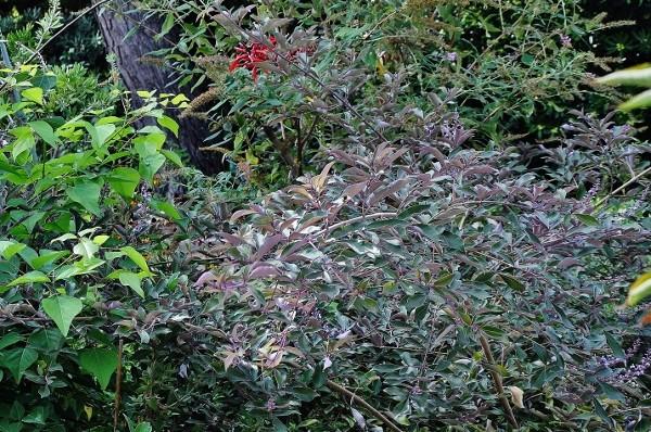 Vitex trifolia 'Purpurea' - Page 2 010_6011