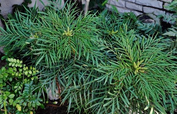 Mahonia eurybracteata - Page 3 022_6010