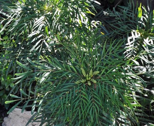 Mahonia eurybracteata - Page 3 055_6010