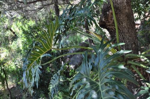 Philodendron bipinnatifidum - selloum - Page 2 Chez_j14