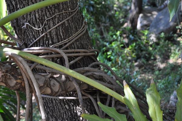 Philodendron bipinnatifidum - selloum - Page 2 Chez_j17