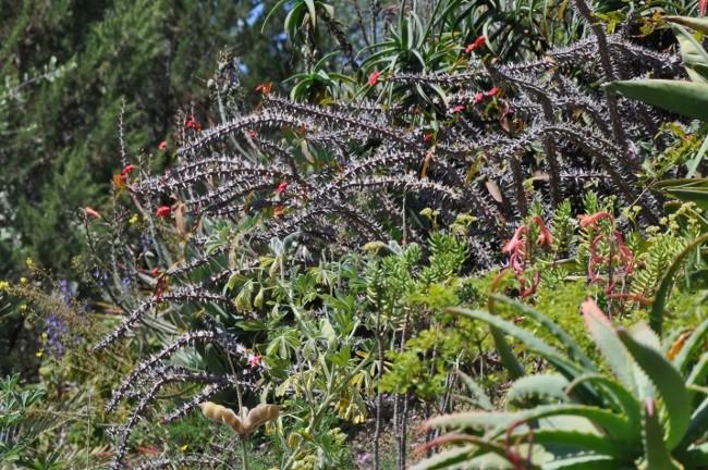 Euphorbia millii Chez_j19