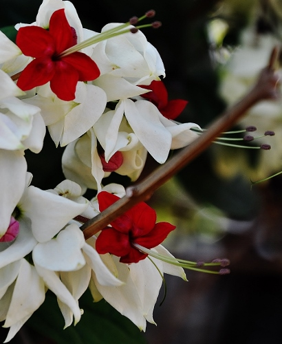 Clerodendrum thomsioniae Costa_18