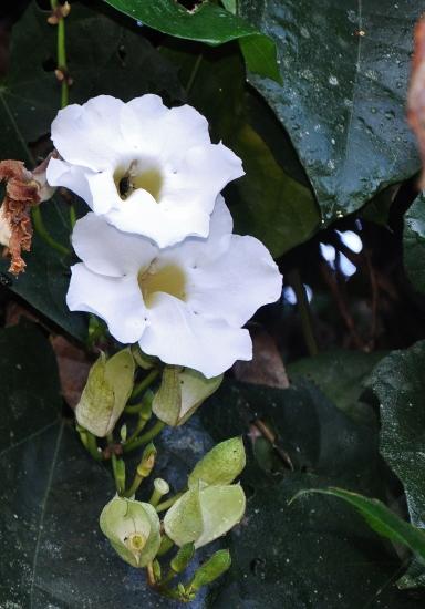 Thunbergia erecta Costa_31
