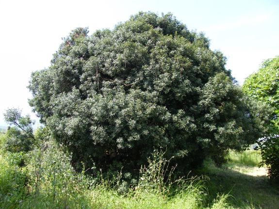 Pistacia lentiscus - pistachier lentisque Image_10