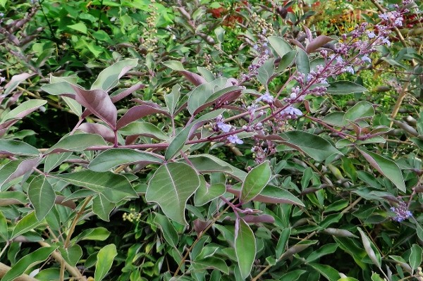 Vitex trifolia 'Purpurea' - Page 2 Img_2610