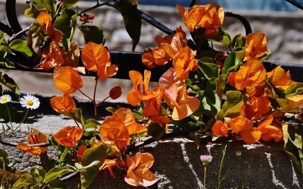 Bougainvillea x specto-glabra - Page 2 Jardin21