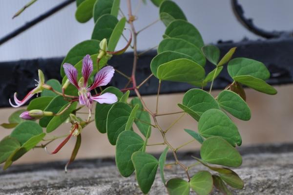 Bauhinia yunnanensis - Page 3 Octobr12