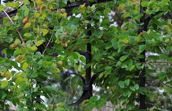 Bauhinia yunnanensis - Page 3 Octobr14