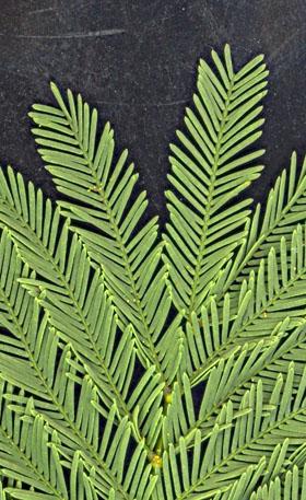 Pas à pas - La confection d'un palmier 1/72e Mimosa10
