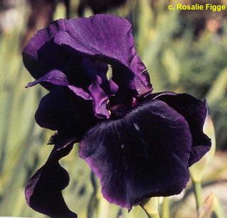 Iris 'Study in Black' - Gordon Plough 1967 Congo_10