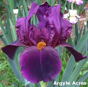 Iris 'Study in Black' - Gordon Plough 1967 Duke_o10