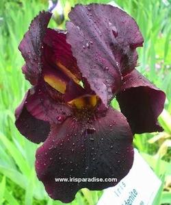 Iris 'Study in Black' - Gordon Plough 1967 Edenit11