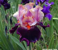 Iris 'Local Color' - Keith Keppel 1995 Gallan10