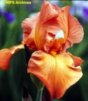 Iris 'Brindisi' - Schreiner 1979 Octobe10
