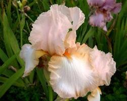 Iris 'Marie Flore' - Cayeux 1990 Peach_10