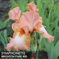 Iris 'Marie Flore' - Cayeux 1990 Sympho10