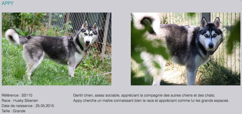 APPY, Husky sibérien mâle, né le 25.05.2015, REFU Suisse Appy_g10