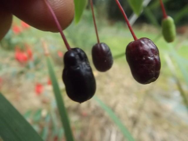 Fuchsia regia Dscf4513