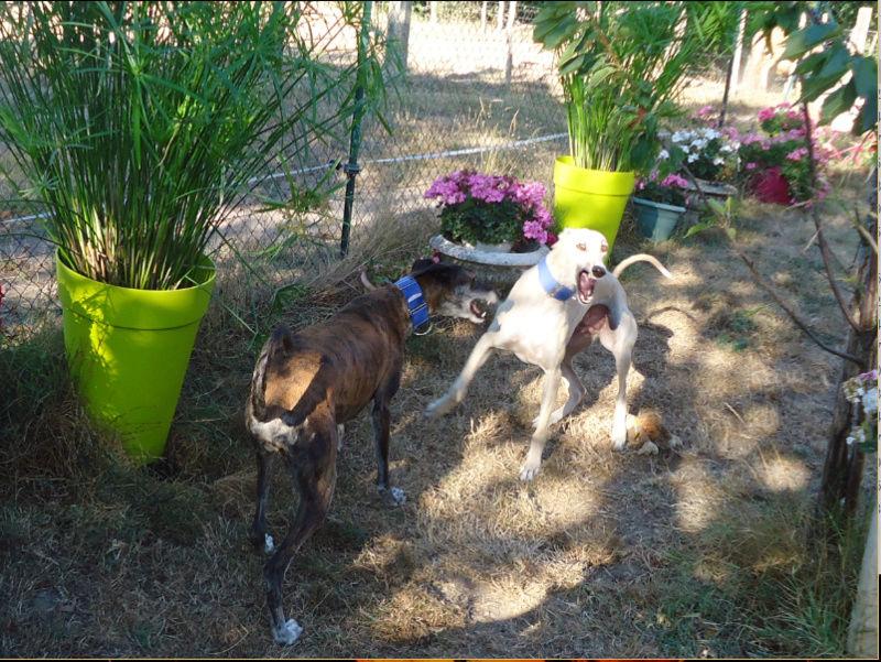CANELITO, galgo beige, 2 ans  Adopté  - Page 2 Caneli12
