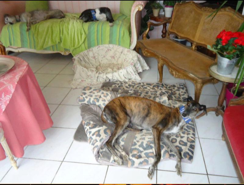 Ely galga née en 2012 Scooby France Adoptée  - Page 4 Ely5410