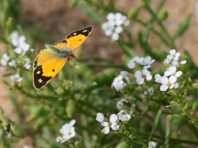 [Souci (Colias crocea)] Souci or not Souci Img_0410