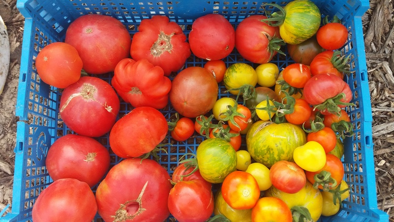 Tomates - Page 39 20160910