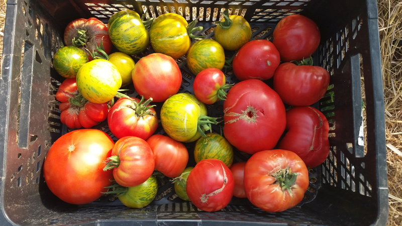 Tomates 20160920