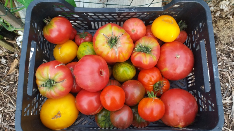 Tomates - Page 3 20160937