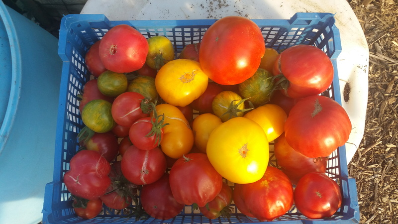Tomates - Page 4 20160951