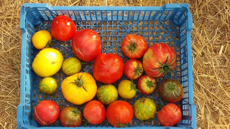 Tomates - Page 5 20160955