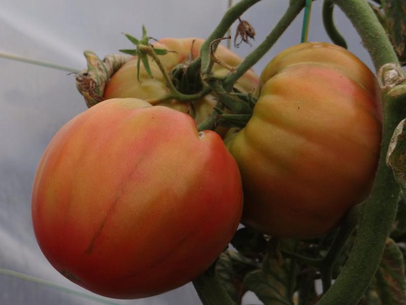 Tomates Dsc03219