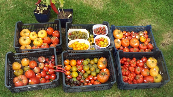 Tomates - Page 6 1500_t10