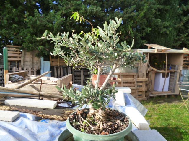 y'a t'il des spécialistes en Bonzaï olivier? P1050810