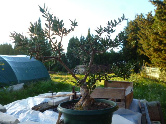 Printemps bonsaï P1070012