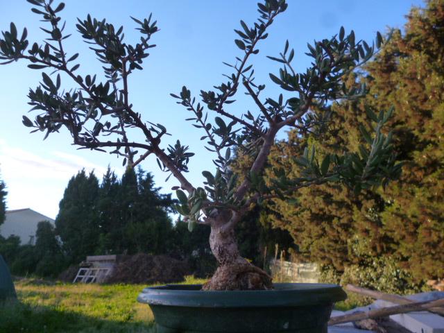 """essayons de faire un magnifique """"Bonzaï olivier"""" ensemble P1070014"""