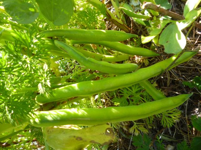 je jardine avec l'esprit de la permaculture  - Page 4 P1070114