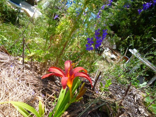 Hemerocalle,Hemerocallis P1070911