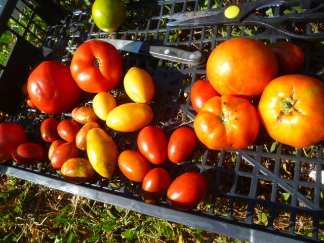 Tomates - Page 39 P1090110