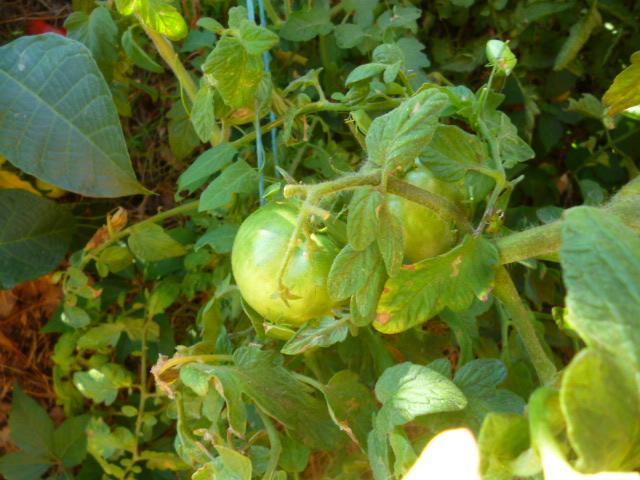 Tomates P1090221