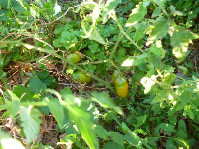 Tomates P1090222