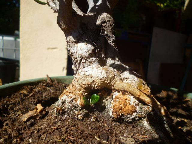 Printemps bonsaï - Page 2 P1090229